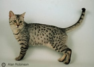 The Egyptain Mau Cat Breed