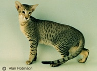 The Oriental Cat Breed