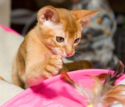 Red Abyssinian kitten is playing with feather in a pink bag.