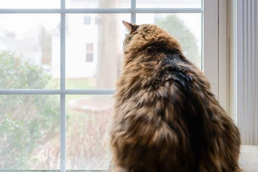 Overweight long-haired orange and black cat staring out a window.