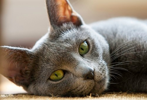 Russian blue cat with green eyes lies on side.