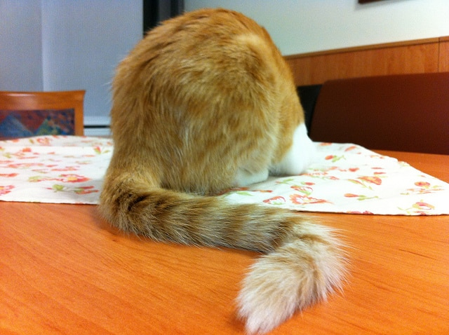 Backside view of orange striped tabby cat with curved tail