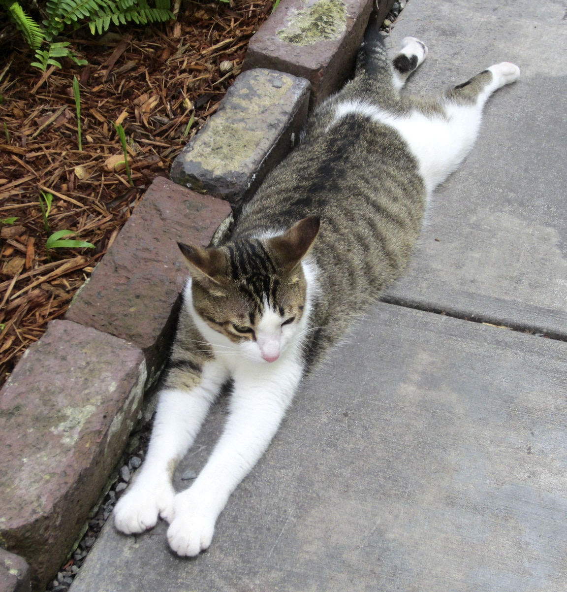 polydactyl gray and white cat stretching on the concrete