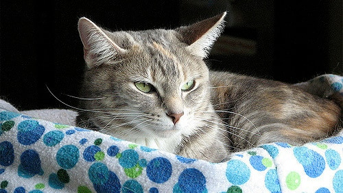Cat with green eyes rests on a blue circle colored towel.