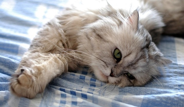White and gray fluffy cat stretching on a bed
