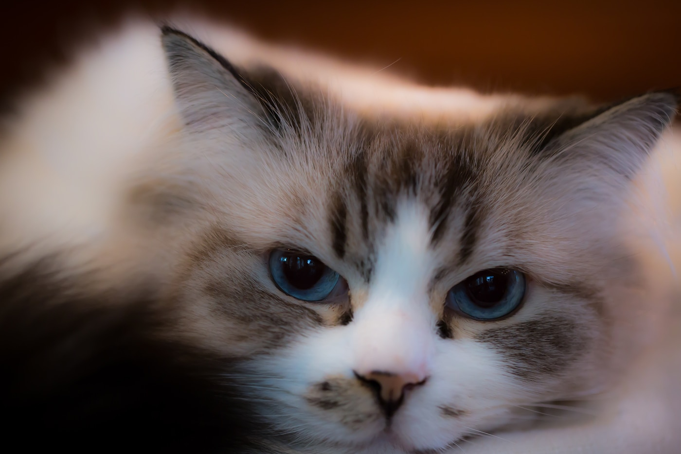 Beautiful ragdoll cat with big blue eyes.