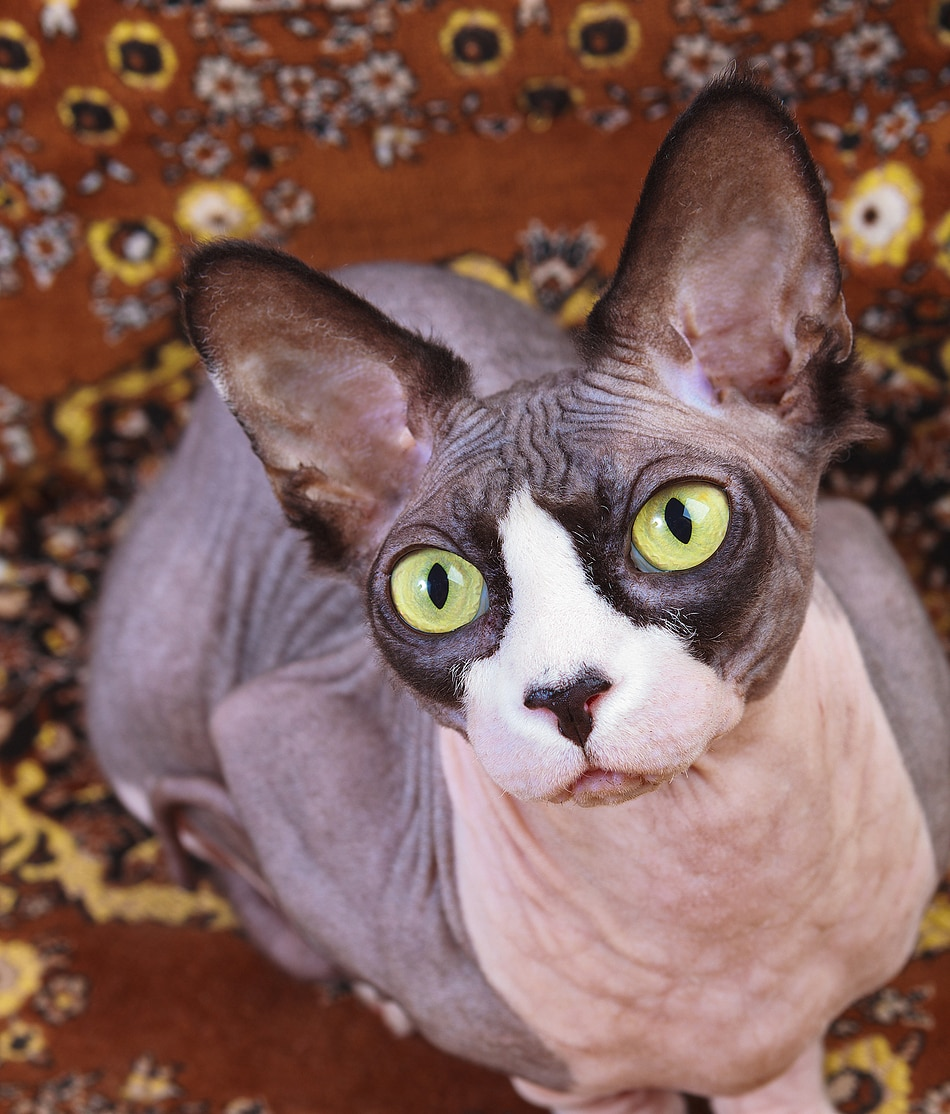 Gray hairless cat with green eyes staring up