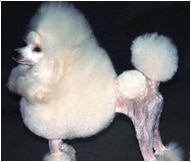 The Poodle Dog Breed