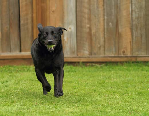 Black lab runs in a backyard with a tennis ball in his mouth.