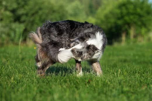 Бордер-колли ловит собственный хвост в траве.