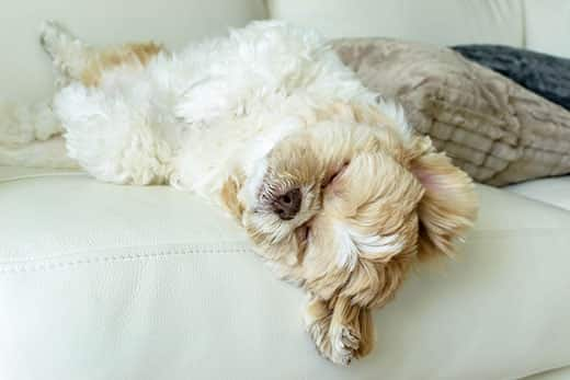 White and brown fluffy dog asleep on her back on the couch