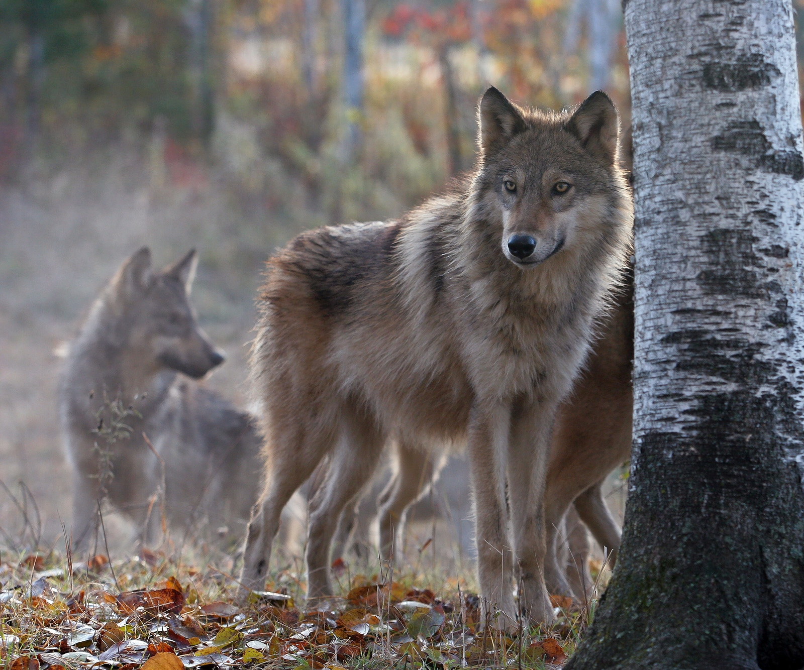 Wolf pack on cool, fall morning. Soft focus with shallow depth of field. Focus on the foreground. Backlit.