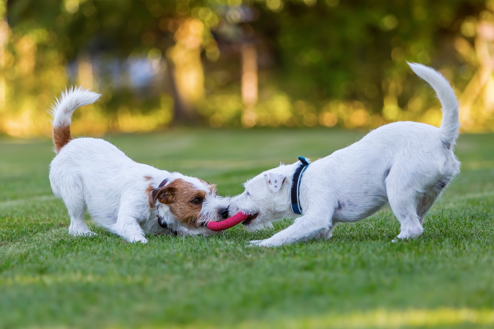 Two dogs playing tug of war with a disc at the park