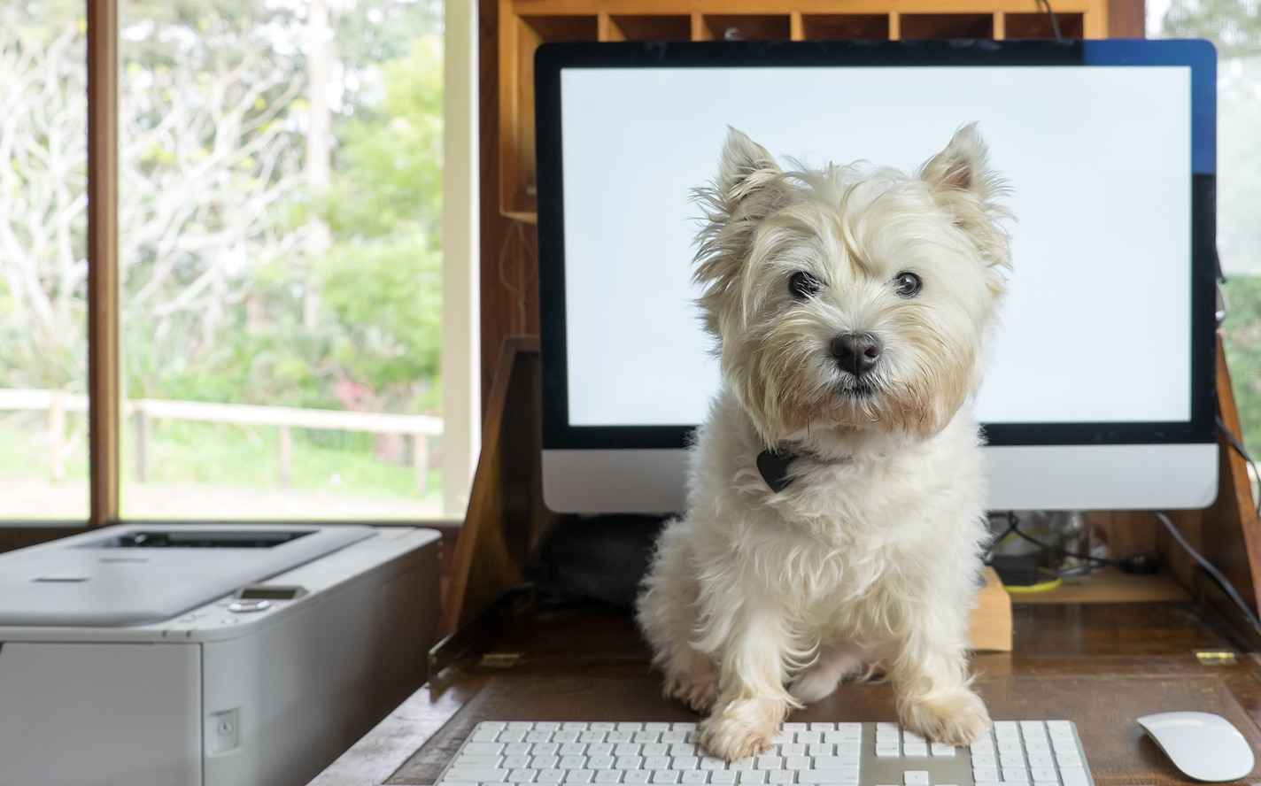 West highland white terrier on desk with computer in working from home office
