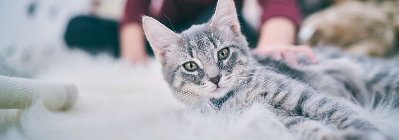 Знакомство котенка с взрослыми кошками секс знакомства без регистрации с фото анкетами