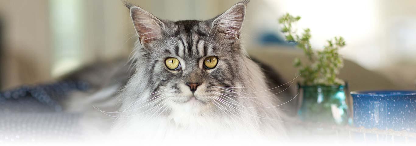 Гепатопатии заболевания печени у кошек