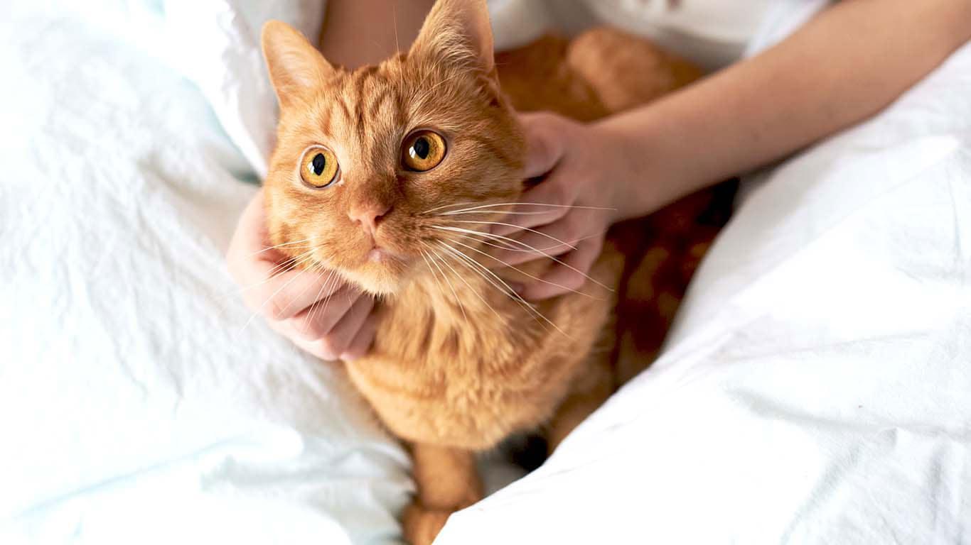 Идиопатический цистит у кошек (ИЦК) и другие заболевания нижних ...