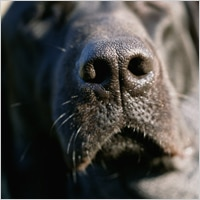 black labrador dog nose up close
