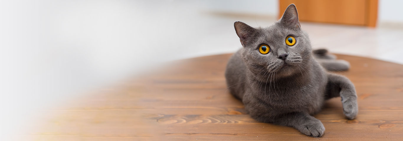 Британская короткошерстная кошка: описание, характер, 33 фото ... | 480x1366