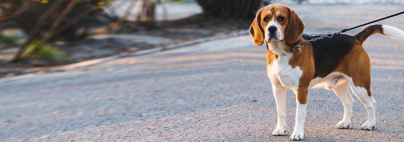 beagle порода собак